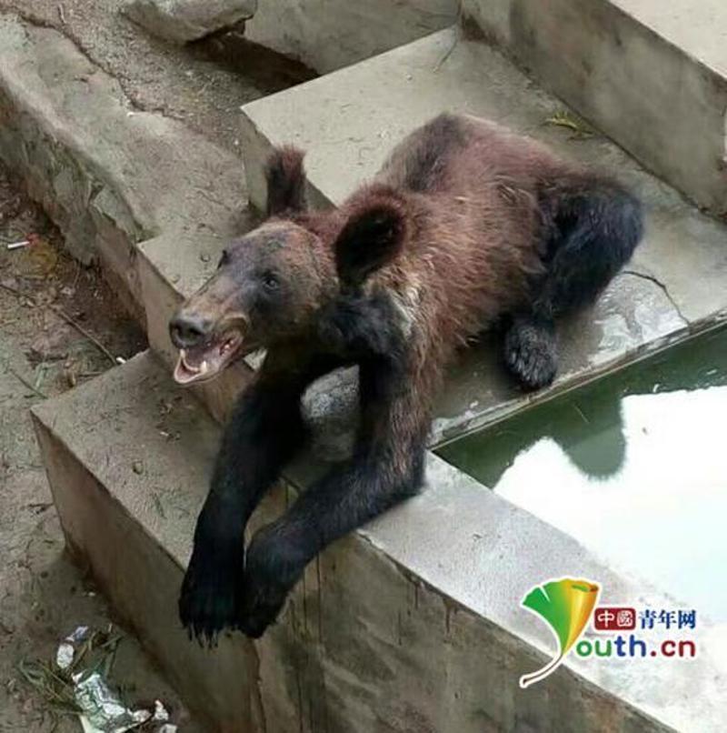 动物园棕熊骨瘦嶙峋疑遭虐待,园方:熊小不会囤脂 中国财经新闻网 http://www.prcfe.com