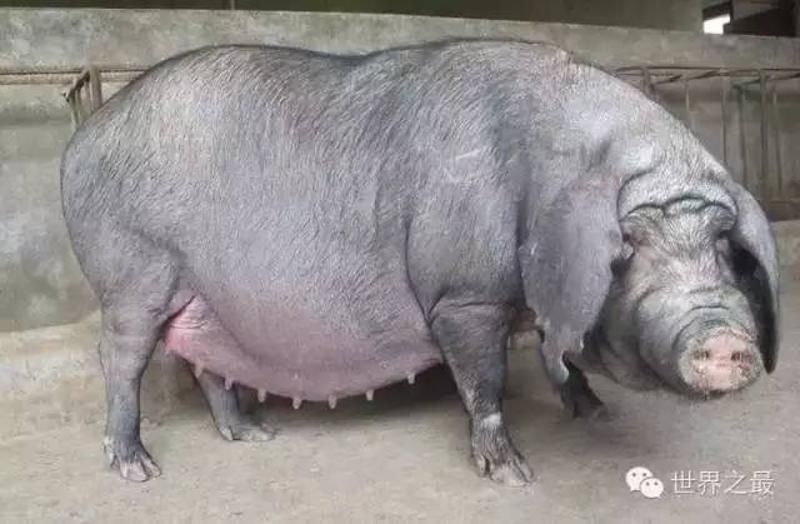 十,世界上产仔最多的母猪——太湖猪图片